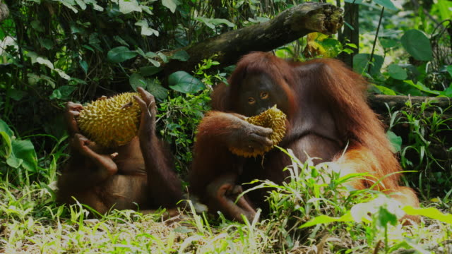 orangutan eating durian in the jungle / papua, indonesia - documentary footage stock videos & royalty-free footage
