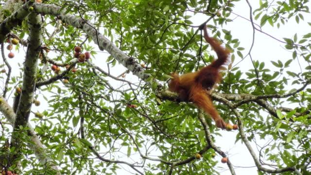 Orangutan eating fruits from trees in Sumatra Island, Indonesia