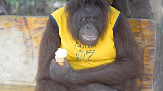 Orangutan eating ice cream