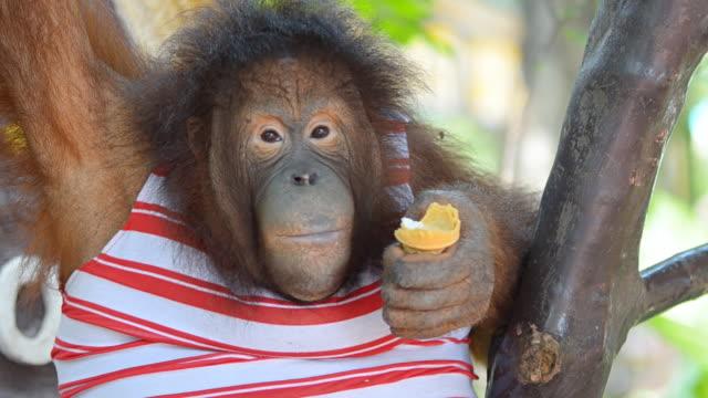 Orangutan eating ice cream.