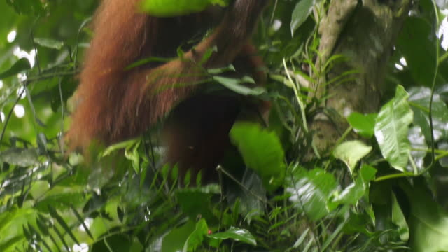 orangutan eating tree leaves in gunung leuser national park in indonesia - tropical rainforest stock videos & royalty-free footage