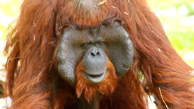 orangutan face - female animal stock videos & royalty-free footage