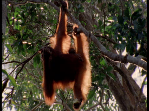 Orangutan hangs from branch with baby clinging to her side, Camp Leakey, Borneo