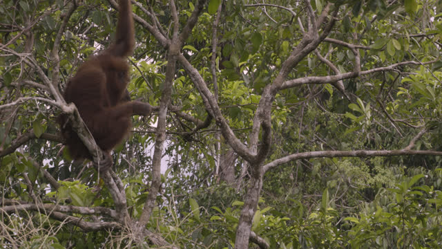 orangutan in tree, sumatra. - branch stock videos & royalty-free footage