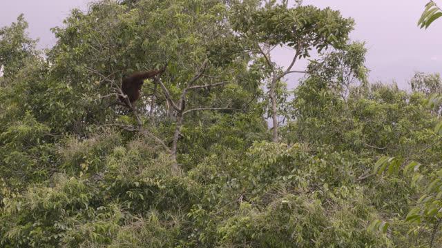 orangutan in tree, sumatra. - branch stock videos & royalty-free footage