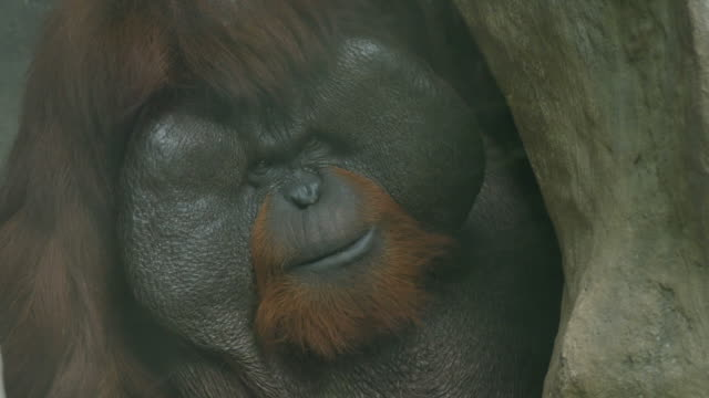 Orangutan it's yawning.