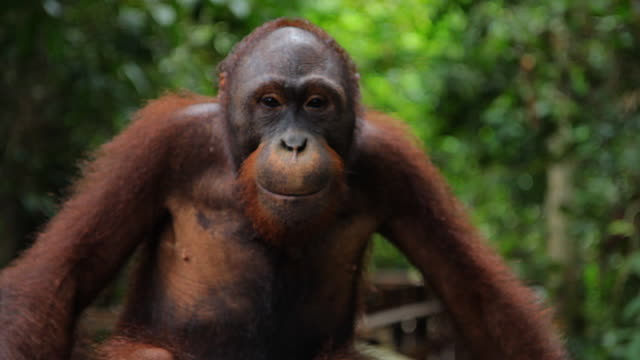 CU - Orangutan looking at camera