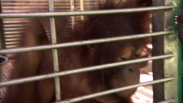 Orangutan looking through a cage and trying to open the lock