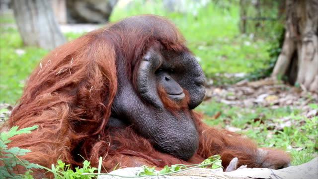 orangutan male - human hair stock videos & royalty-free footage