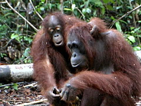 オランウータン母と子 - ボルネオ島点の映像素材/bロール