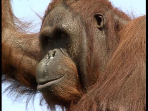 vídeos de stock, filmes e b-roll de cu orangutan pulls ugly face - feiura
