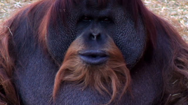 orangutan shows his powerful teeth - endangered species stock videos & royalty-free footage