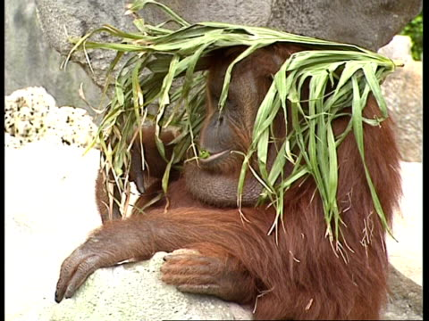 ms orangutan sitting with leaf on head - shade stock videos and b-roll footage