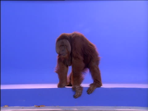 orang-utan stands on step then shuffles backwards as banana on string appears - reversing stock videos & royalty-free footage