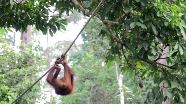 orangutan swinging on a rope, jungle setting - sabah state stock videos and b-roll footage