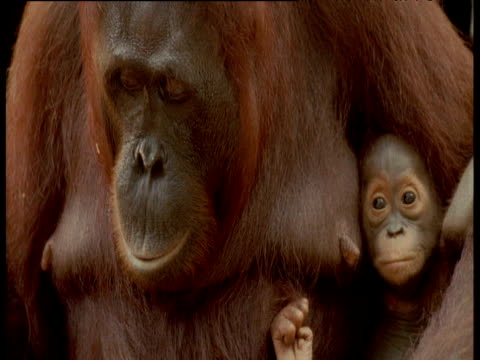 orangutan tries to hammer nails into wood, camp leakey, borneo - werkzeug stock-videos und b-roll-filmmaterial