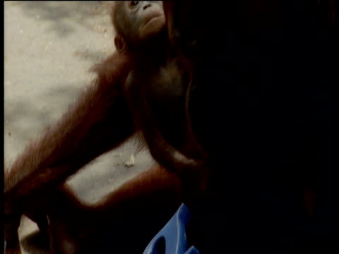 orangutan tries to saw wood but gets frustrated, camp leakey, borneo - werkzeug stock-videos und b-roll-filmmaterial