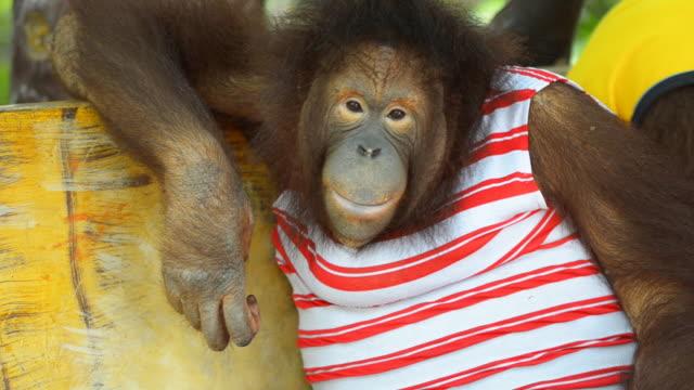 vídeos de stock, filmes e b-roll de orangotango - pet clothing