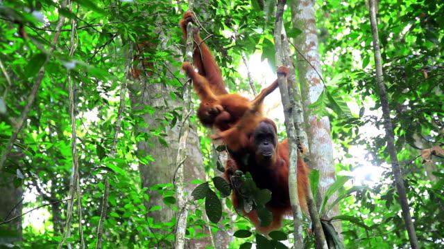 vídeos y material grabado en eventos de stock de orangután - isla de sumatra