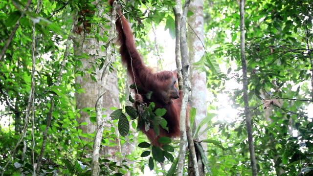 orangutan - kalimantan stock videos and b-roll footage
