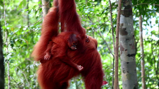 orang-utan - indonesia stock-videos und b-roll-filmmaterial