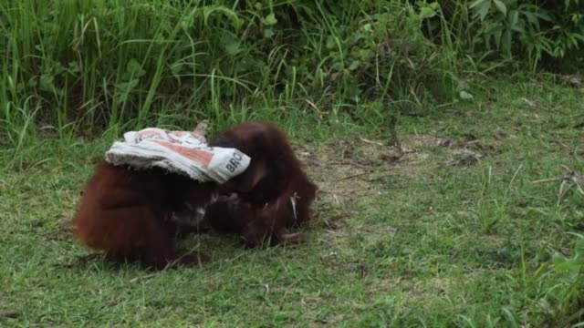 orangutans are very intelligent and love to play games. these rescued orangutan orphans on the island of borneo enjoy chasing and hiding in burlap... - french overseas territory stock videos & royalty-free footage