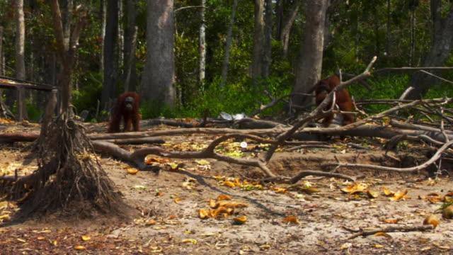 Orangutans by the Kapuas river