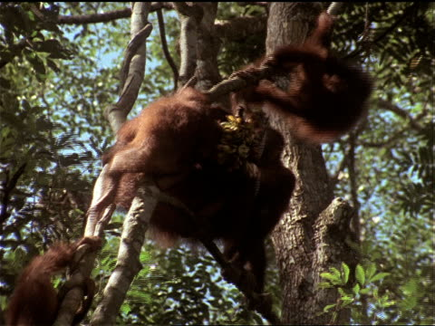 orangutans eat as they hang from a branch. - borneo stock-videos und b-roll-filmmaterial
