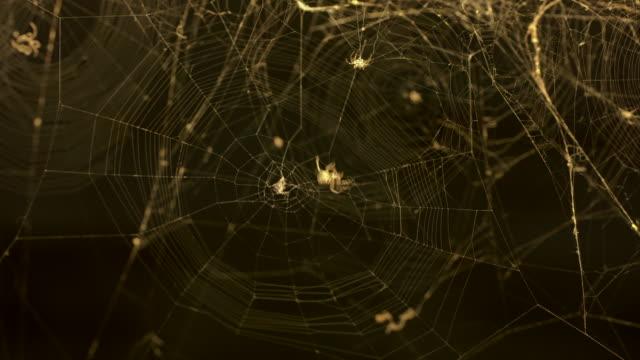 vídeos de stock, filmes e b-roll de aranhas-teia orbe (araneus diadematus) - teia de aranha