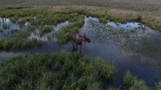 orbit moose eating grass moose 4k drone aerial view, bull moose filmed in the rocky mountains on the usa, canada border in a beautiful lake, stream eating grass - elk stock videos & royalty-free footage