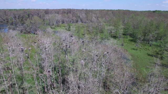 Orbit to looking down on birds in nest - Drone Aerial 4K Everglades, Swamp bayou with wildlife alligator nesting Ibis, Anhinga, Cormorant, Snowy Egret, Spoonbill, Blue Heron, eagle, hawk, cypress tree 4K Nature/Wildlife/Weather Drone Aerial Video