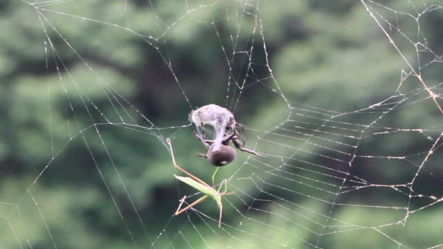 orb-weaver spider catching dragonfly in the web - 昆虫点の映像素材/bロール