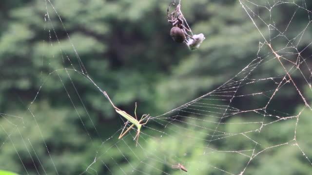 vídeos de stock, filmes e b-roll de orb-weaver spider catching dragonfly in the web - teia de aranha
