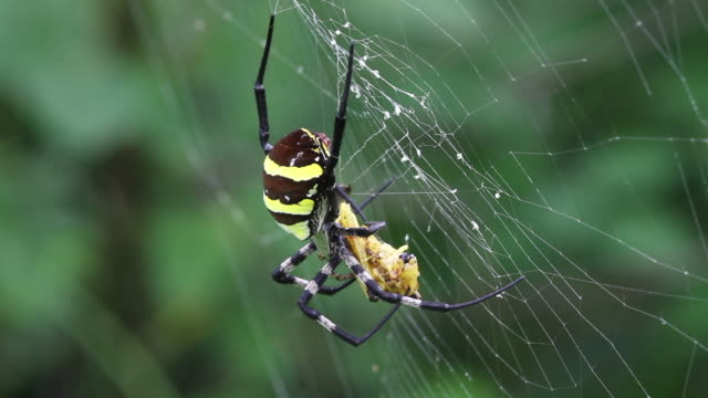 orb-weaver spider (argiope amoena) hunting prey in the web - small stock videos & royalty-free footage