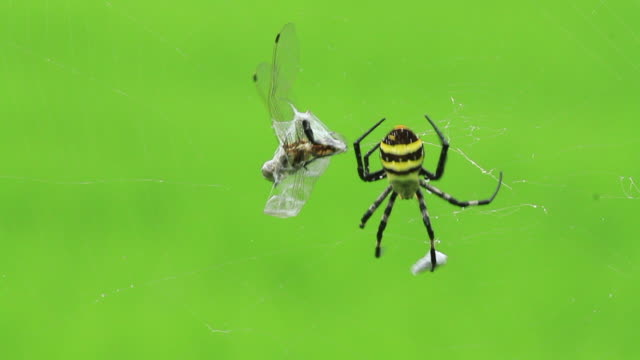 orb-weaver spider (argiope amoena) hunting prey in the web - captive animals stock videos & royalty-free footage