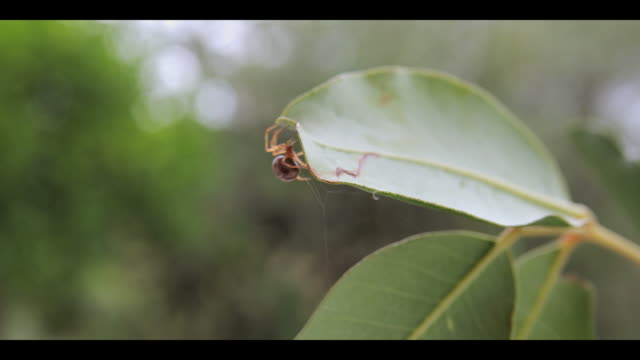 orb-weaver spider starting to construct its web on a plant leaf. orb-weavers construct large webs to ensnare flying insects on which to feed. filmed in andalusia, spain - sphere stock videos & royalty-free footage