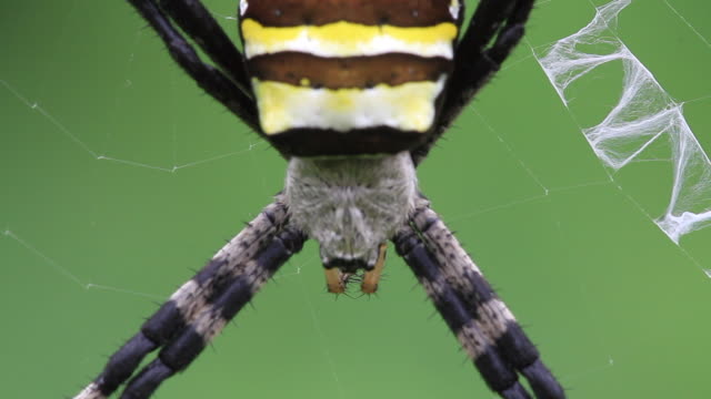 orb-weaver spider (argiope amoena) - spider stock videos & royalty-free footage