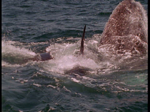 Orca attack and try to separate grey whale calf from mother, Monterey, California