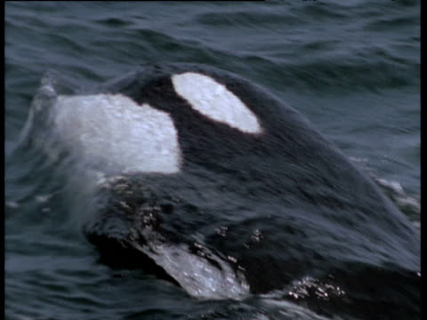 Orca attacks grey whale calf, Monterey, California