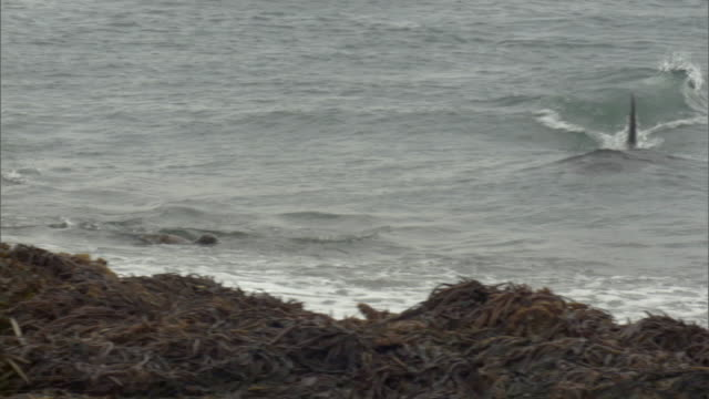 MS PAN Orca attacks seal in water, piles of kelp on beach / Puerto Madryn, Chubut, Argentina