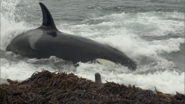 ms orca attacks seal in water, piles of kelp on beach / puerto madryn, chubut, argentina - killer whale stock videos & royalty-free footage