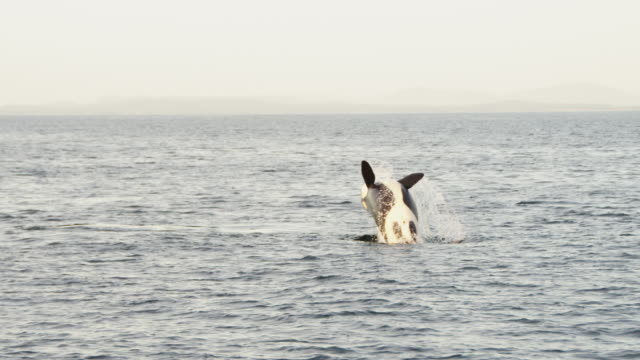 orca backflips away from camera in open sea with coastline in distance - killer whale stock videos & royalty-free footage