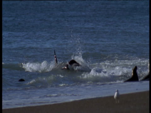 orca beaches as it attempts to grab sealion in surf, punta norte - stranded stock videos and b-roll footage