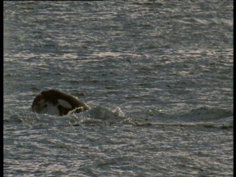 vídeos de stock e filmes b-roll de orca beats sealion against water, punta norte - leão marinho
