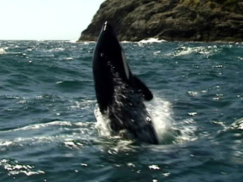 orca (orcinus orca) breaching and splashing camera, bay of islands, new zealand - bay of islands new zealand stock videos & royalty-free footage