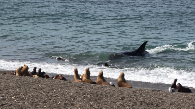 orca captures sealion pub  from beach in punta  norte - sea lion stock videos & royalty-free footage