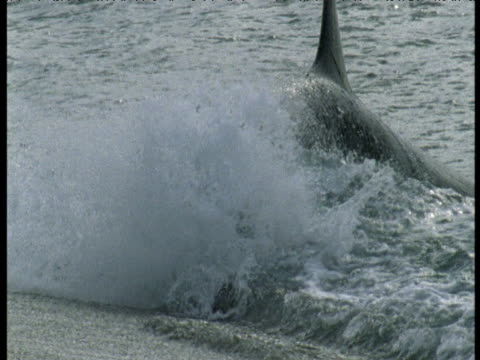 orca grabs sealion pup from surfline on beach, punte norte, argentina - totschlag stock-videos und b-roll-filmmaterial