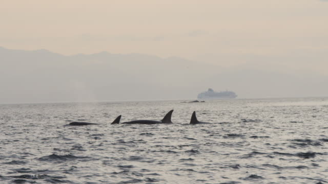 orca group surface and breathe with cruise liner in distant background - aquatic organism stock videos & royalty-free footage