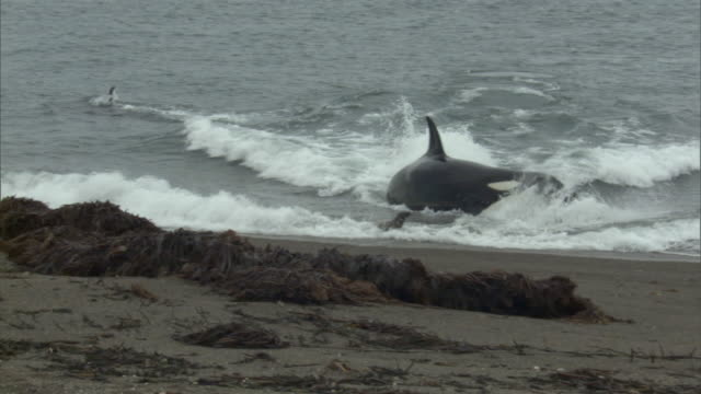 ws pan zo orca hunting seal at shoreline / puerto madryn, chubut, argentina - seal pup stock videos & royalty-free footage