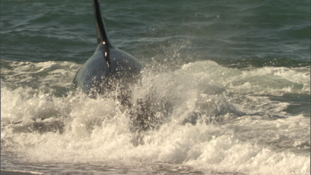 orca hunting seal - hunting sport stock videos and b-roll footage